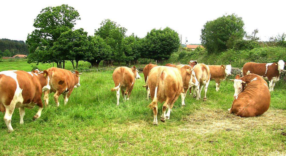 vacas nodrizas Foto Emilio Gaspar Gimnez