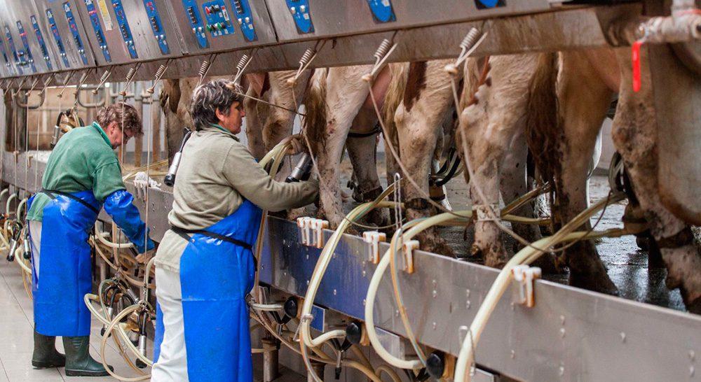ganaderia-leche