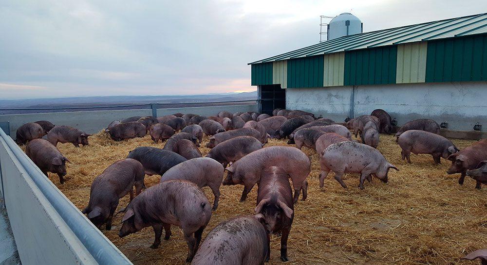 granja cerdos locales fertinagro