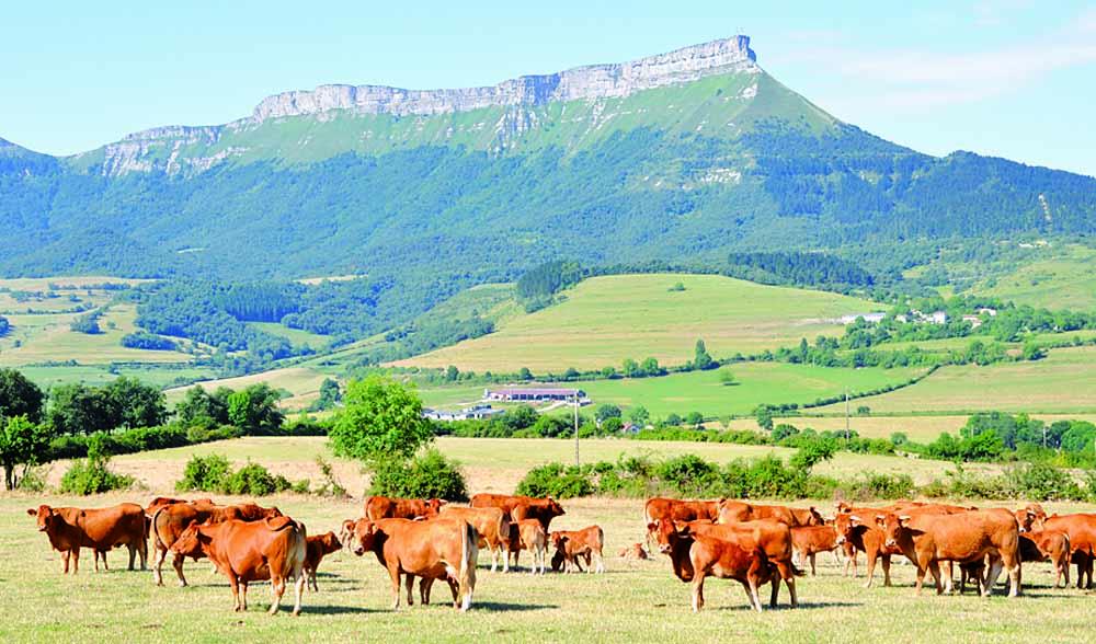 mena ganado vacuno vaca merindades burgos