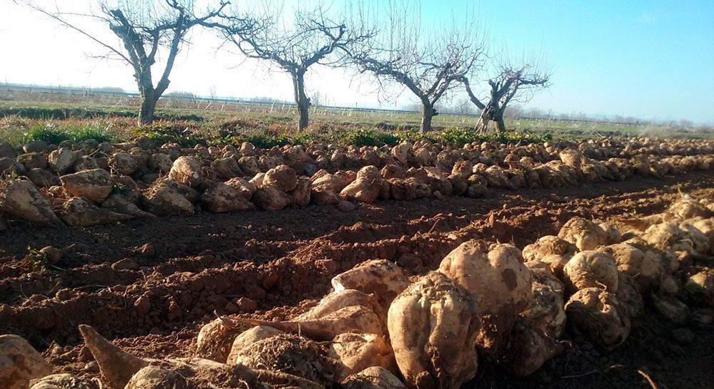remolacha campo Azucarera