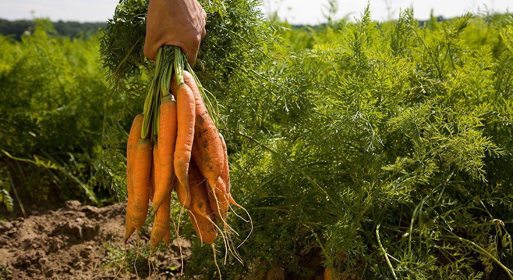 europa organic zanahoria