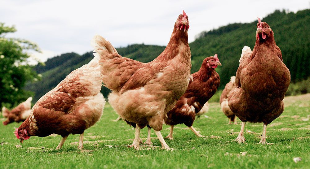 ecologico ue gallinas