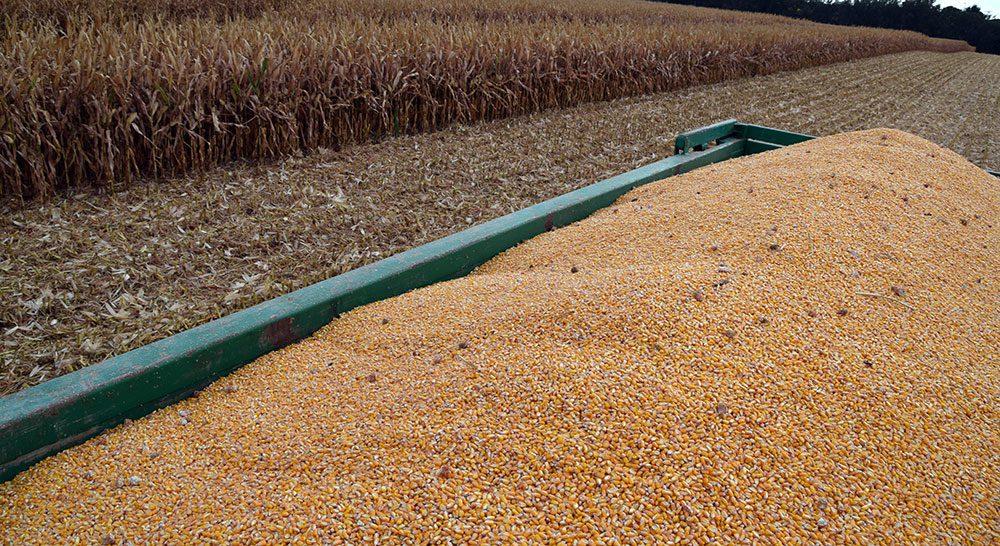 grano maiz