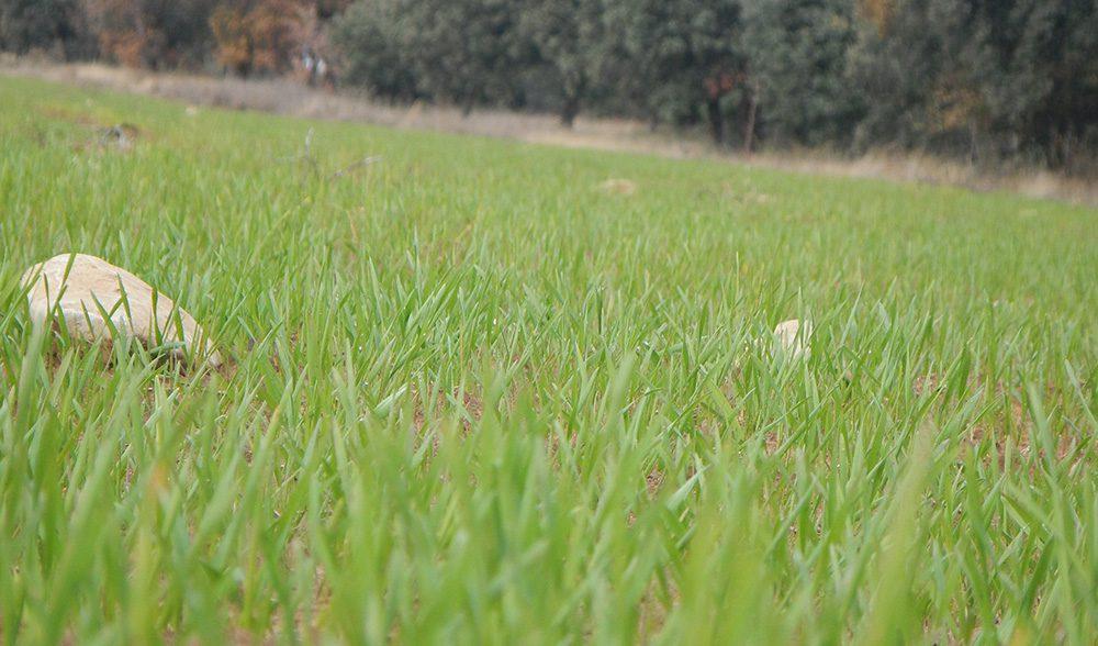 nascencia cereal campo