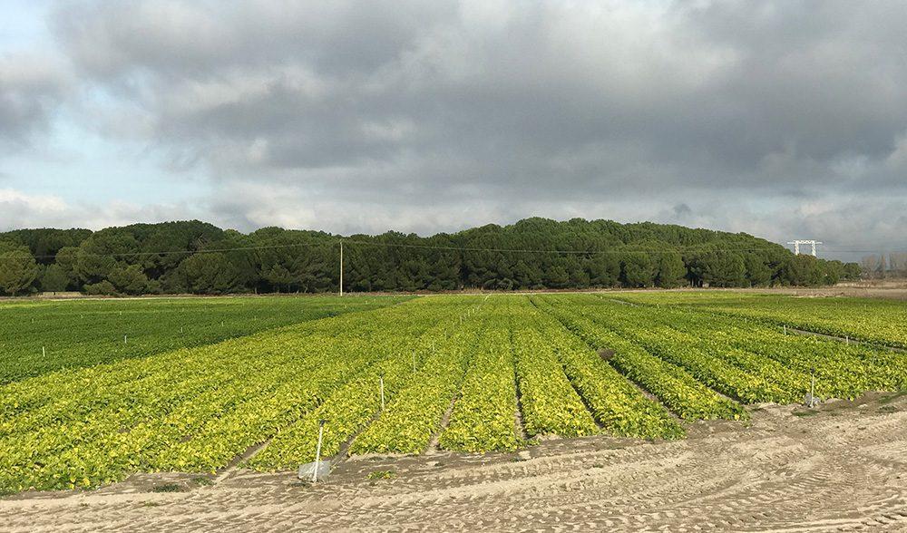 portillo campo zanahoria