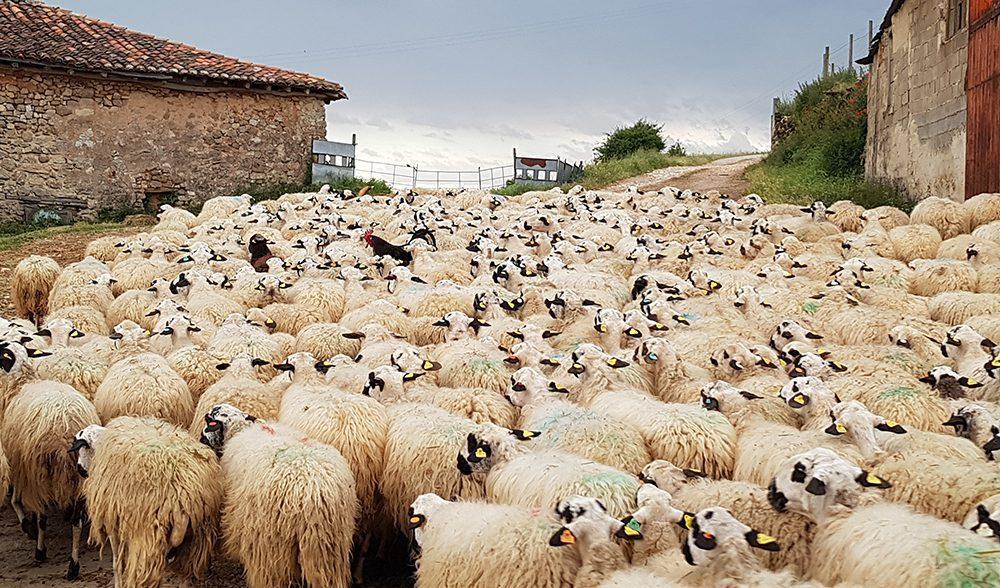 ovino oveja churra