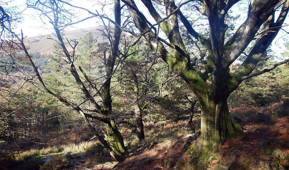 bosque hayedo