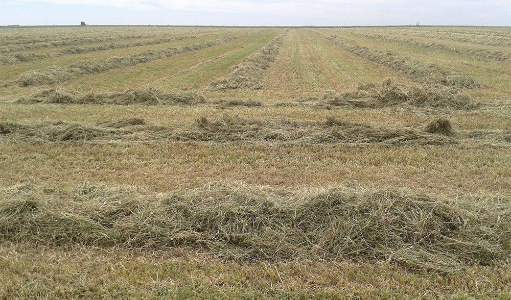 alfalfa segada