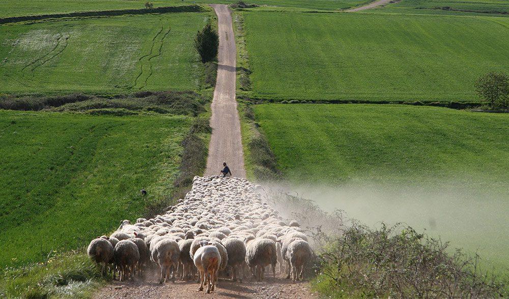 cereales ovejas