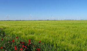 cereal molinos eolicos paisaje sanidad amapolas malas hierbas, firma VDS