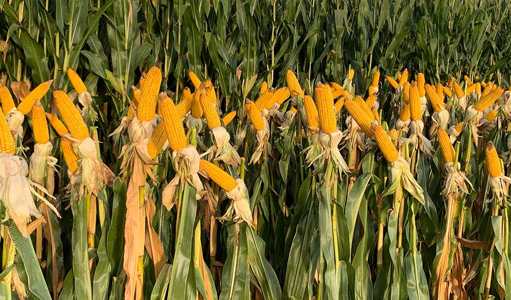 maskws maiz