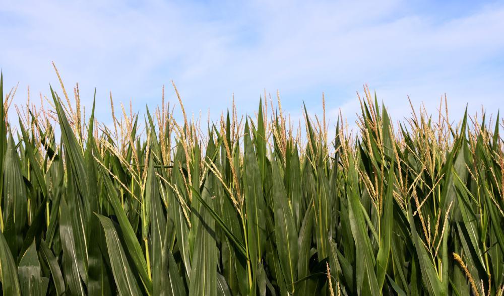 maiz firma MG