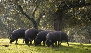 cerdo-iberico