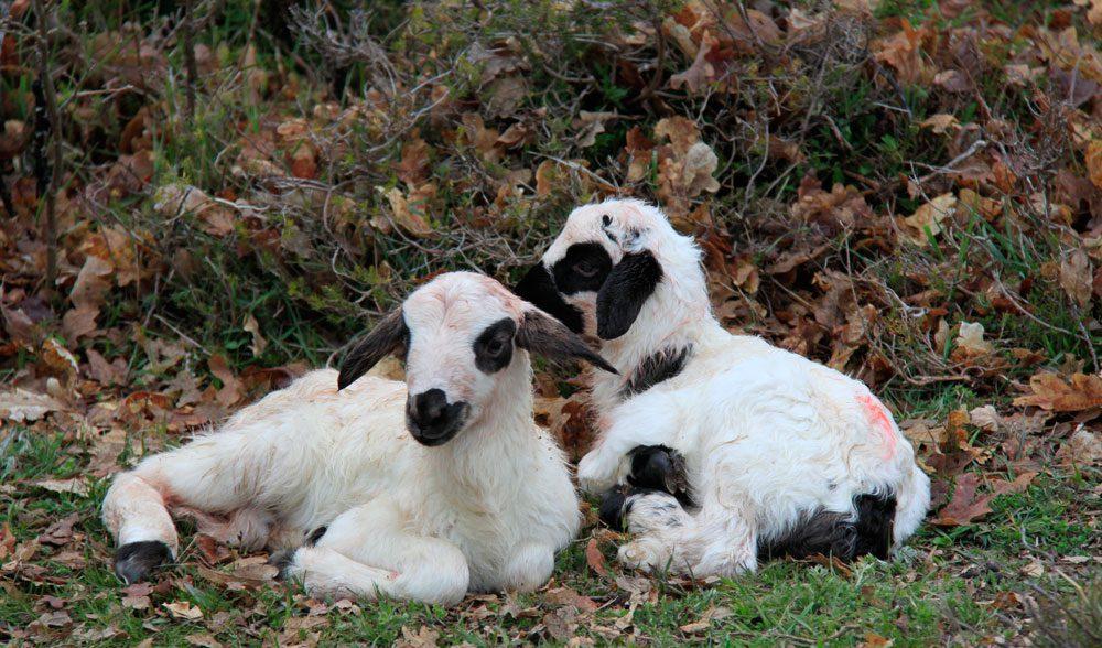 lechazo cordero oveja
