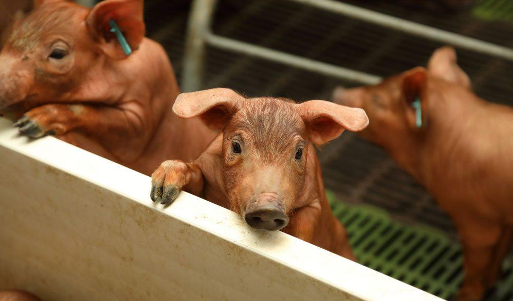 lechon cochinillo cerdo iberico