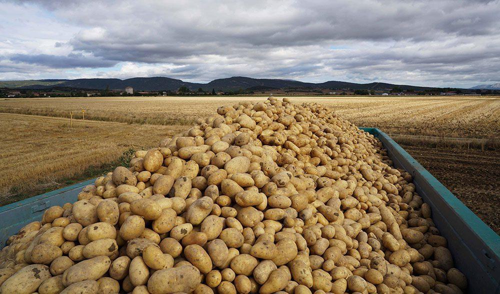 Patatas-en-campo