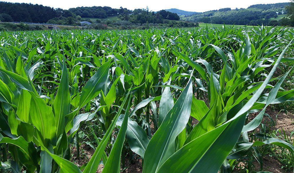 maiz fertilizacion
