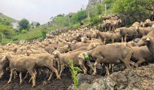 ovejas-cesefor