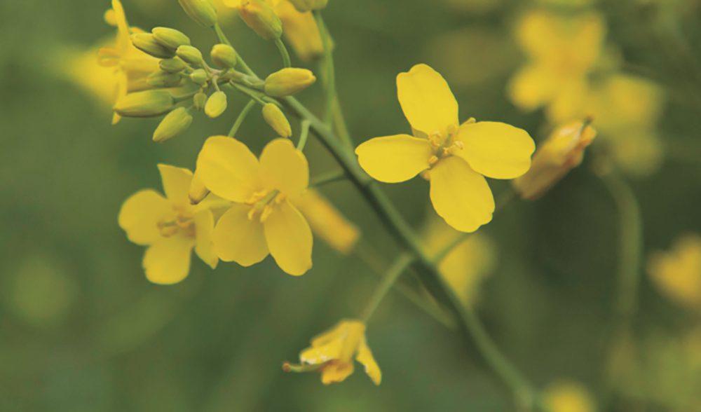 flor colza