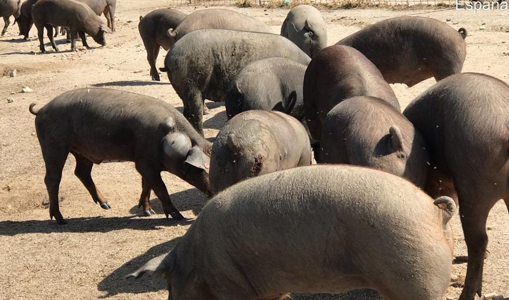 lobo cerdo iberico
