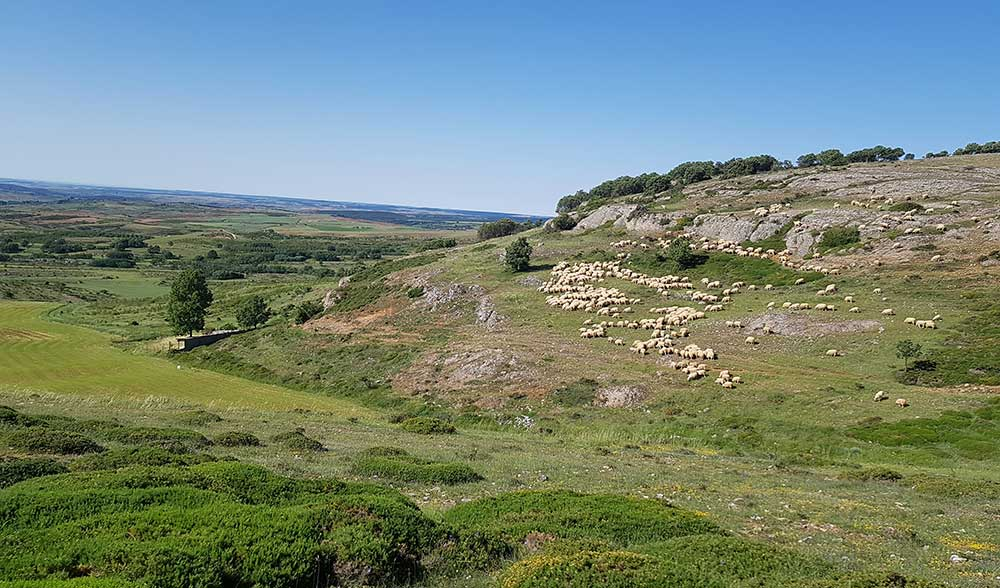 ovejas-ganado-la-ojeda-palencia-paisaje,-Jose-Luis-Fraile