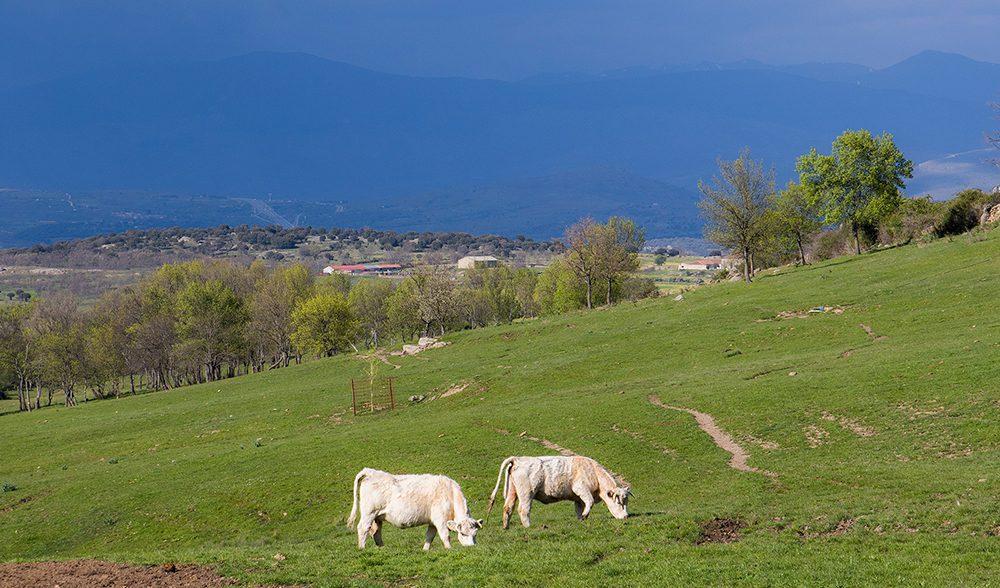 paisaje vaca