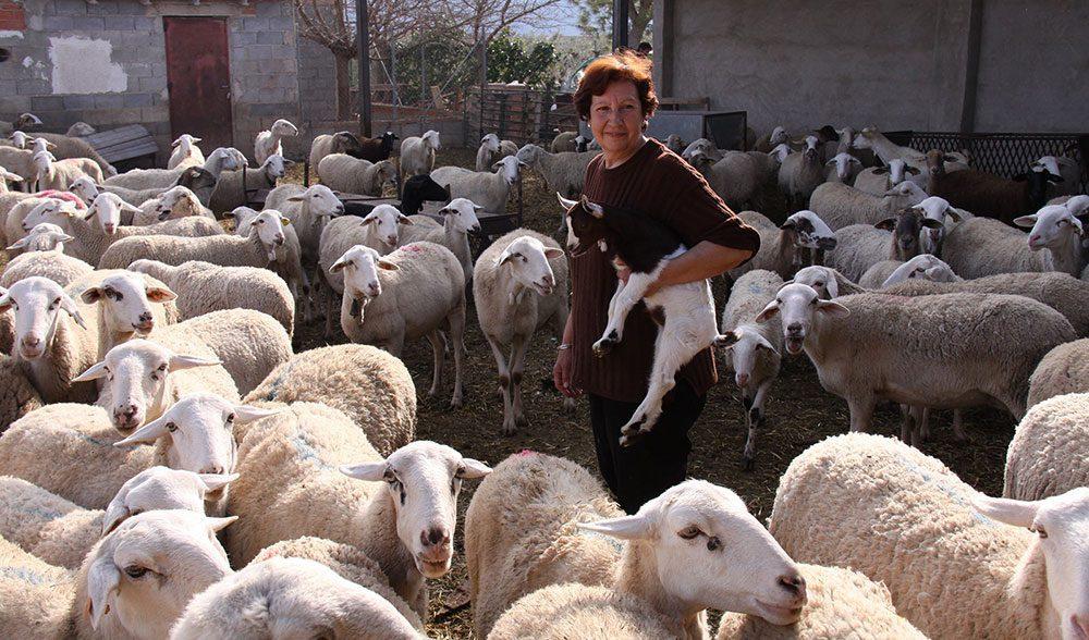 ganadería ovino