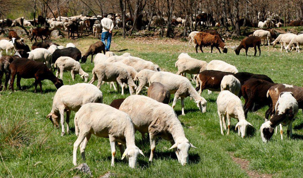 ganadero zamora ovejas