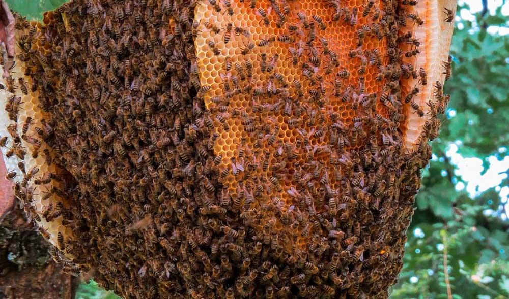 abejas-apicultura