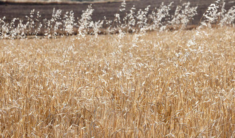 cebada avena loca malas hierbas