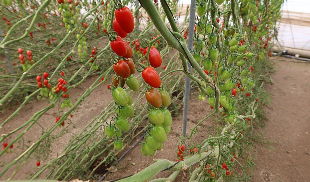 tomate fito invernadero
