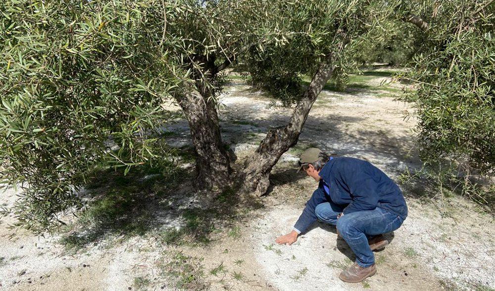 olivo-agricultor