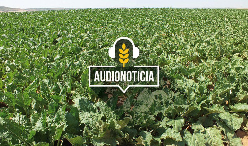 remolacha-audionoticia
